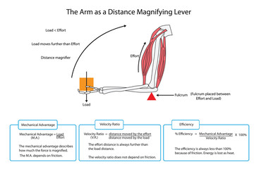 Fully labelled diagram of the arm as a distance magnifying lever. EPS10