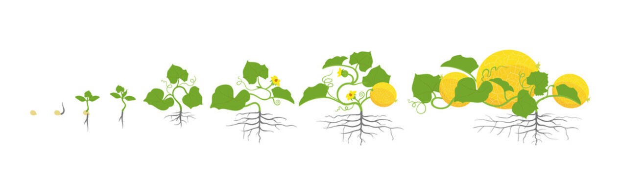 Growth stages of melon plant. Vector illustration. Cucumis melo. Melon cantaloupe life cycle. On white background.