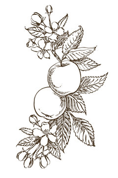 Apple illustration. Hand drawn patterns with textured apple illustration. Vintage botanical hand drawn illustration. Spring flowers of apple tree.