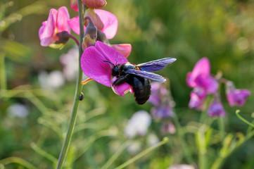 Insekt - Holzbiene