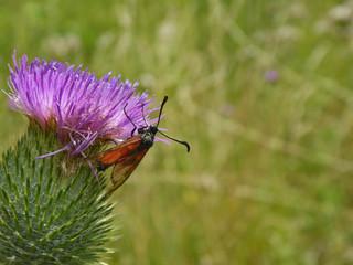 Schmetterlinge Deutschlands - Sechsfleckwidderchen