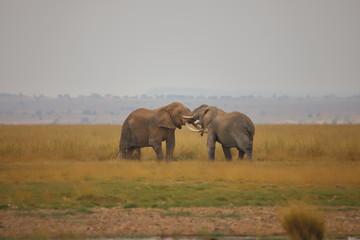 Aluminium Prints Elephant Duel of two elephants