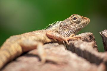 chameleon on the dry wood