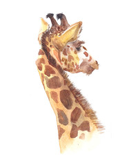 Watercolor giraffe animal illustration isolated on white background