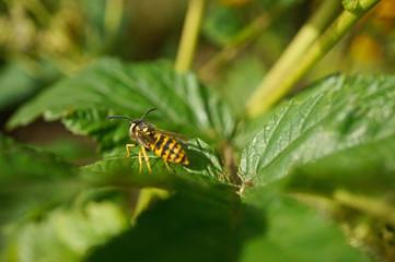 Insekt - Wespe