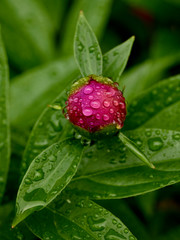 Peony bud with water droplets