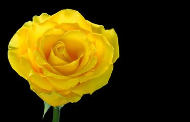 One yellow rose isolated on black background.