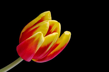 One colorful tulip isolated on black background.
