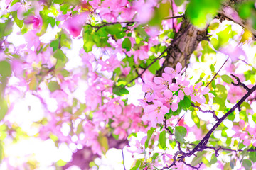 Beautiful branch of apple blossoms in amazing sunny day. Beautiful pink flowers as background for easter hollyday. Pink cherry blossom on the tree during spring time.