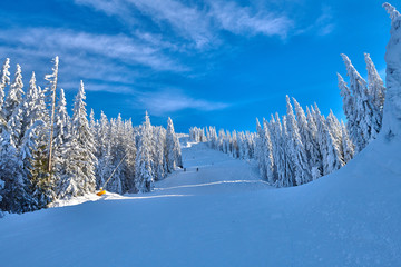 Pine forest covered in snow on winter season,Mountain landscape in Poiana Brasov, Transylvania,Romania