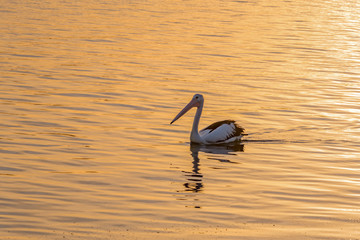 Pelican in the sunset light