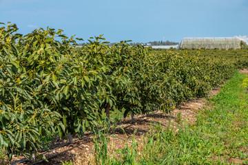 Avocado plantation field