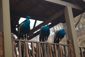 peacocks in park