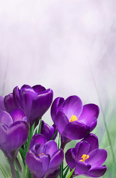 Nature Spring Floral mockup with purple crocus flowers