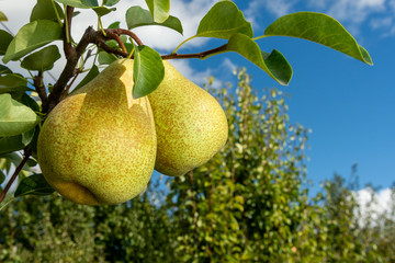 ripe fruit of pears hang on a tree branch close-up macro. Harvesting in the fall