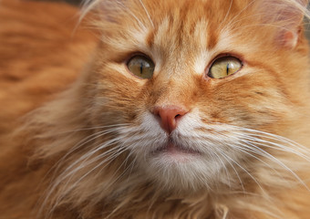portrait of a redhead adult cat with a big mustache