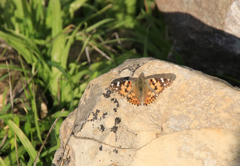Butterfly - Painted Lady (Vanessa cardui, Cynthia cardui) in Akamas Peninsula