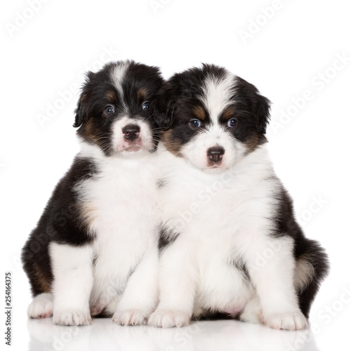 two australian shepherd puppies sitting together on white