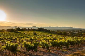 Vineyard at sunset. A plantation of grapevines. Hilly mediterranean landscape, south France, Europe Fototapete