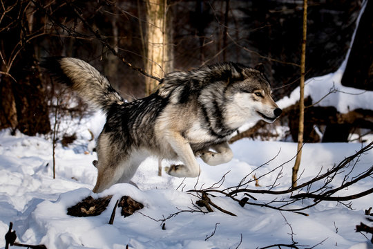 Timber Wolf Leaping