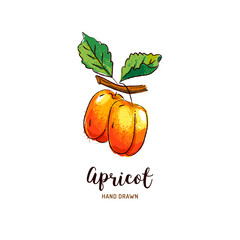 Apricot drawing Vector hand drawn apricots, Watercolor colorful apricots. Vector isolated icons