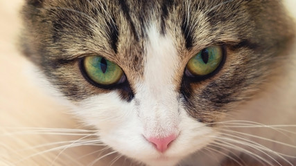 beautiful domestic cat with big green eyes