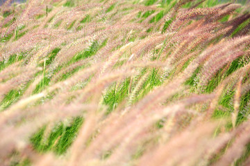 Wall Mural - field of white reeds flower grass background.