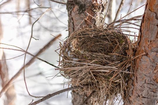 Chaffinch nest in winter on a pine tree. Chaffinch Nest. Forest bird nest.