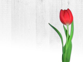 Women's day card with the Polish words DAY OF WOMEN. Flower. Tulip on a white wooden background.