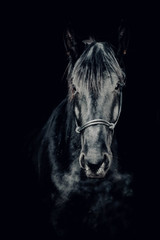 Portrait of a beautiful black stallion on a black background