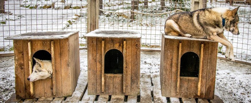 chiens husky dans leur niche