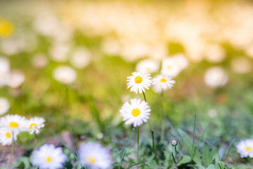 Wonderful summer closeup, daisy flower field with sun rays and delicate colors on blurred background. Calmness and inspiration nature background