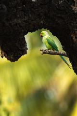 Rose Ringed Parakeet from Chennai India