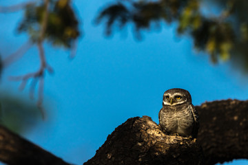 Spotlit Spotted Owlet from Chennai India
