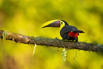 Yellow-throated toucan (Ramphastos ambiguus) is a large toucan in the family Ramphastidae found in Central and northern South America.