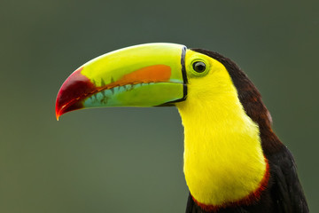 Foto op Plexiglas Toekan Keel-billed toucan (Ramphastos sulfuratus), also known as sulfur-breasted toucan or rainbow-billed toucan, is a colorful Latin American member of the toucan family. It is the national bird of Belize