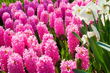 Poster Rose Blooming pink hyacinth flowers and white narcissus in spring