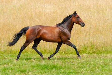 German Trotter, horse breed, runs at a smart trot across a meadow, Germany