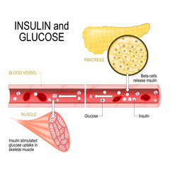 insulin (in pancreas) and glucose (in muscle)