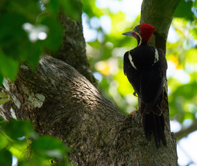 Using the shady cover of a large tree a Lineated Woodpecker hunts for insects in the heat of the ay