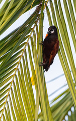 Gripping a palm frond a Montezuma Oropendola stares down its orange and black beak