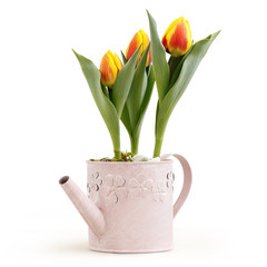 tulips flowers plants in pink watering can isolated on white background, florist shop or gift card present concept