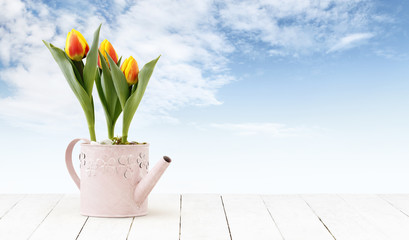tulips flowers plants in pink watering can isolated on wooden white table and sky background, web banner florist shop or gift card present concept