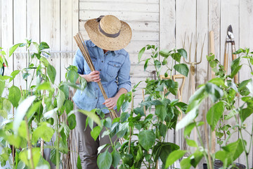 woman work in the vegetable garden with bamboo sticks in the middle of green plants, take care for plant growth, healthy organic food produce concept