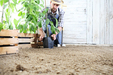man plant out a seedling in the vegetable garden, work the soil with the garden spade, near wooden boxes full of green plants