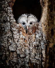 Deurstickers Bestsellers Kids Ural Owl hidden in a tree hole looking out curiously - National Park Bavarian Forest - Germany