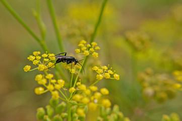 Insekt - Wegwespe