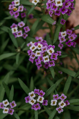 Tiny purple and white flowers