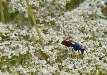 Insekt - Sand-Goldwespe