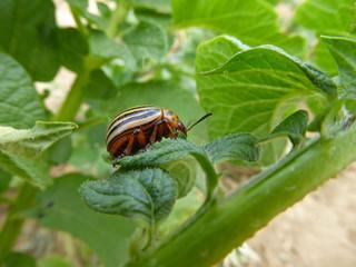 Insekt - Kartoffelkäfer